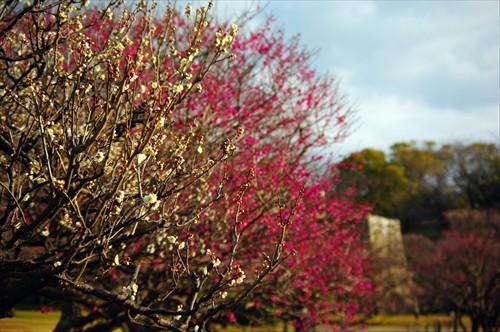 中には満開に近い梅の木もありました。
