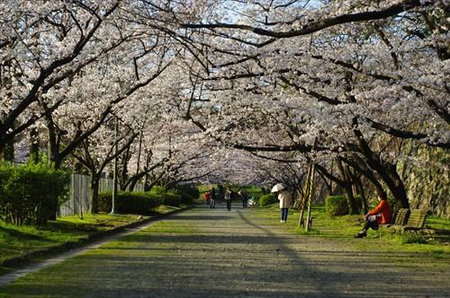 2013年福岡の開花宣言は観測史上最速でした