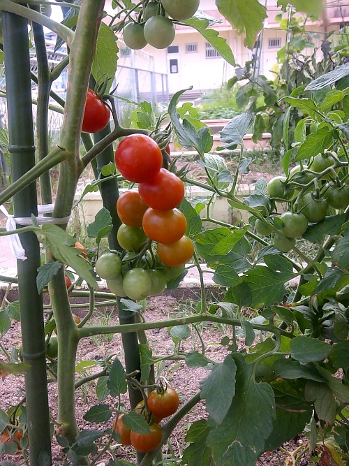 鈴なりのプチトマト