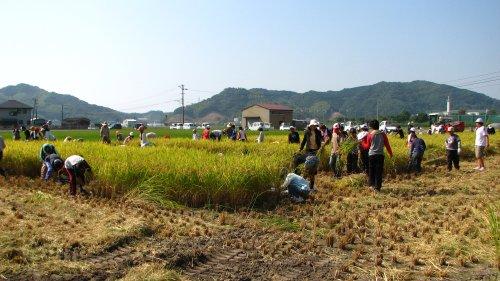 約12aの田んぼの中で自由に稲刈り