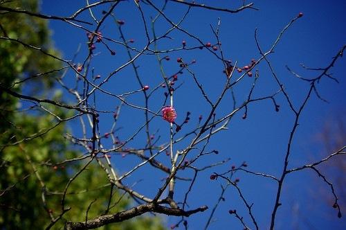 福岡市内は早くも梅が咲いていました。