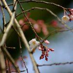 2014年勝手に桜開花宣言