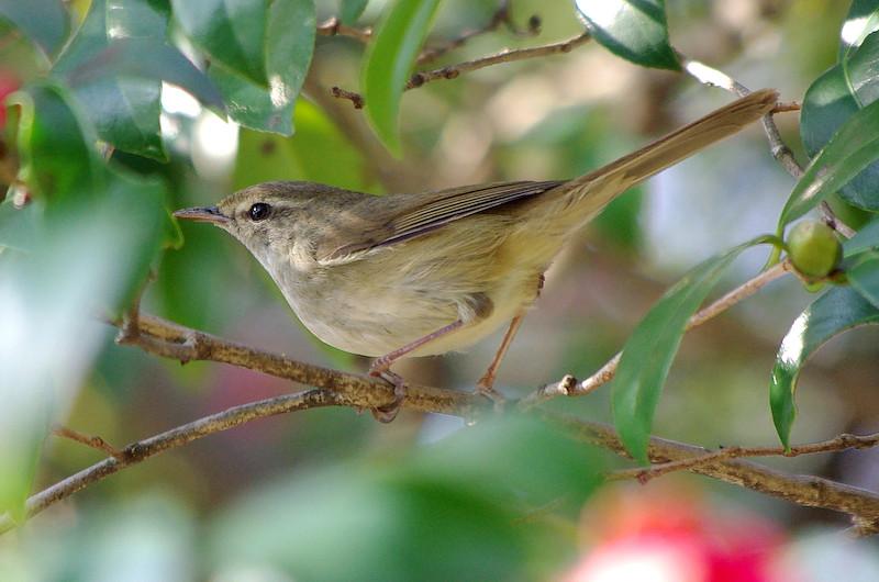 春を告げる鳥のウグイス