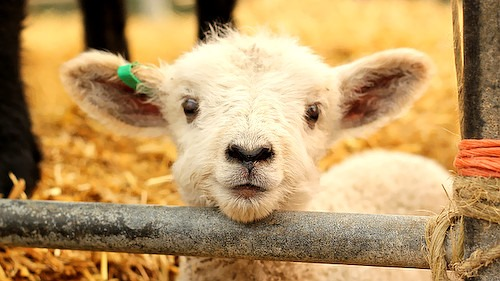 CUTE LAMB by Su-May, on Flickr