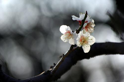 今年もきれいな梅が咲いてます