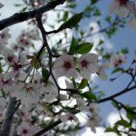 奈良県吉野山奥千本~♪奥千本~♪桜の旅行記ひと