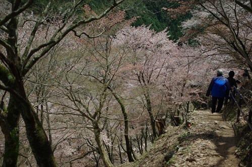 急勾配を下ると目の前に奥千本の桜