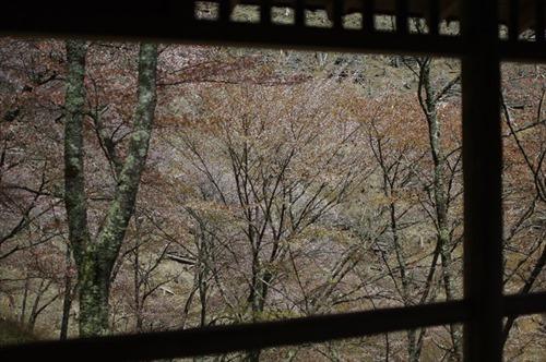 奥千本の桜、満開のときに見てみたい