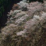 奈良県吉野山奥千本~♪奥千本~♪桜の旅行記ふた