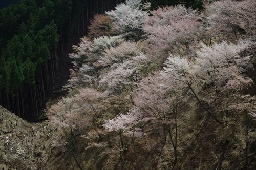 桜色の霞か雲か・・・・