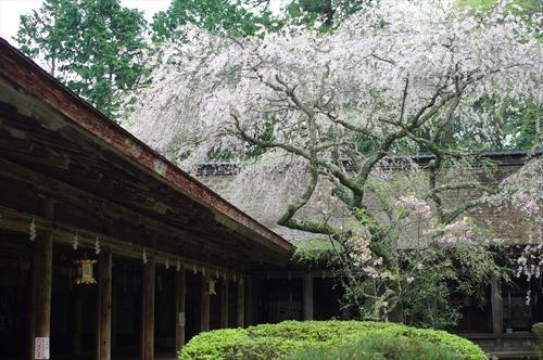 左手が拝殿、奥が幣殿、そして枝垂れ桜