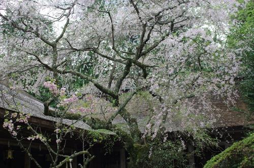 中庭のような境内に咲く枝垂れ桜