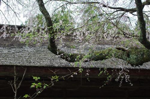 拝殿の屋根を散り染める桜が美しい