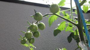 20160618_tomato02.jpg