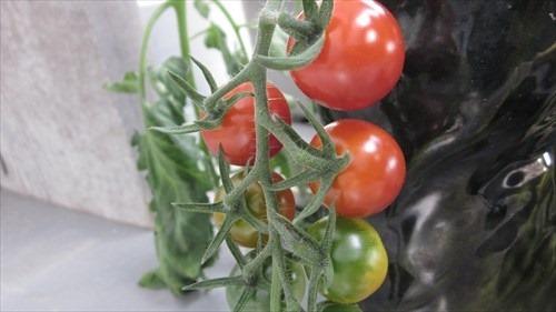 20160705_tomato02