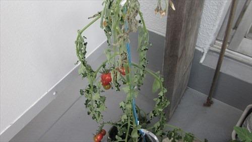 20160710_tomato01