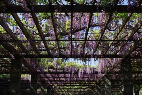 大濠公園の藤棚