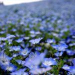 福岡市内にあるネモフィラの咲く丘